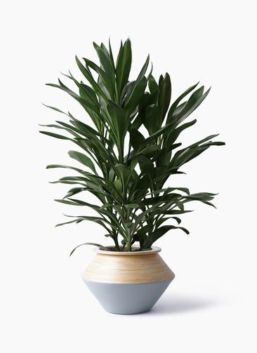 観葉植物 ドラセナ グローカル 8号 アルマジャー グレー 付き
