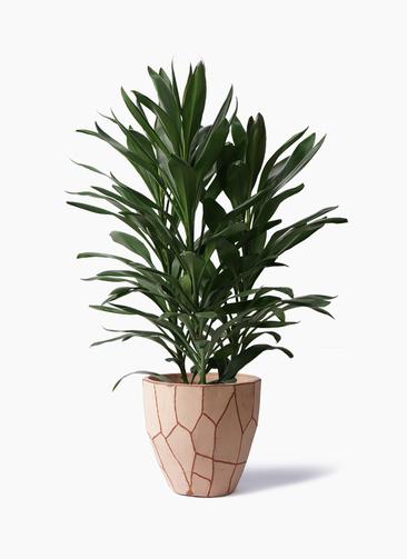 観葉植物 ドラセナ グローカル 8号 ウィスク 付き