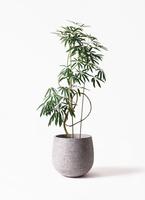 観葉植物 シェフレラ アンガスティフォリア 10号 曲り エコストーンGray 付き