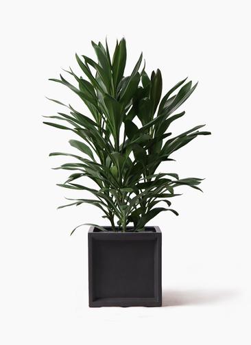観葉植物 ドラセナ グローカル 8号 ブリティッシュキューブ 付き