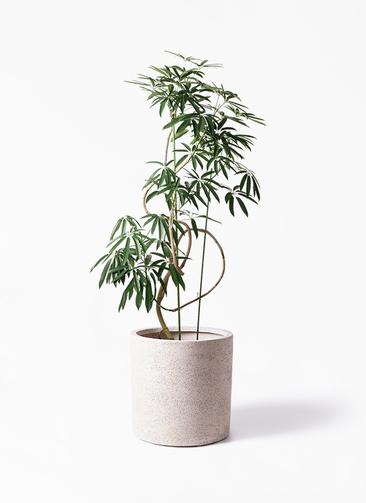 観葉植物 シェフレラ アンガスティフォリア 10号 曲り サンディ シリンダー 白 付き