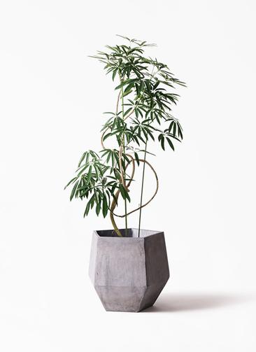観葉植物 シェフレラ アンガスティフォリア 10号 曲り ファイバークレイGray 付き