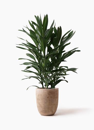 観葉植物 ドラセナ グローカル 8号 ルーガ アンティコ アルトエッグ 付き