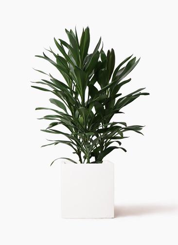 観葉植物 ドラセナ グローカル 8号 バスク キューブ 付き