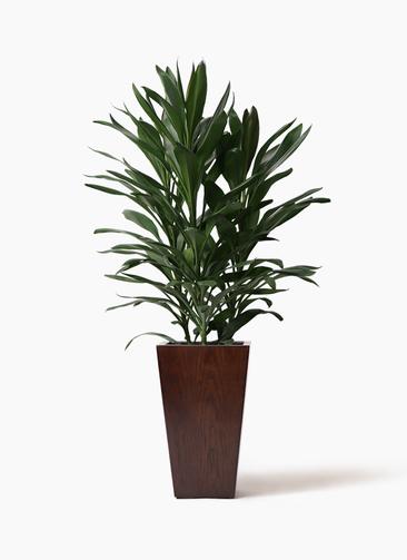 観葉植物 ドラセナ グローカル 8号 MOKU スクエア 付き