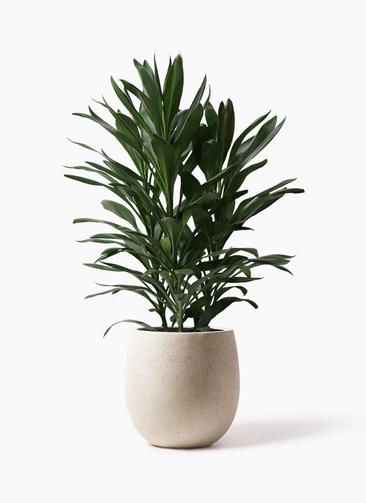 観葉植物 ドラセナ グローカル 8号 テラニアス バルーン アンティークホワイト 付き
