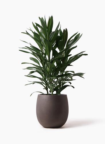 観葉植物 ドラセナ グローカル 8号 テラニアス バルーン アンティークブラウン 付き