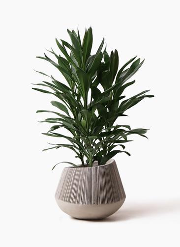 観葉植物 ドラセナ グローカル 8号 エディラウンド グレイ 付き