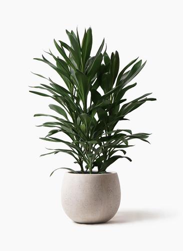 観葉植物 ドラセナ グローカル 8号 テラニアス ローバルーン アンティークホワイト 付き