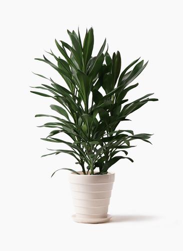 観葉植物 ドラセナ グローカル 8号 サバトリア 白 付き