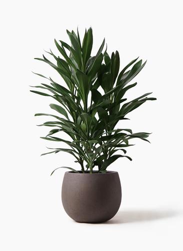 観葉植物 ドラセナ グローカル 8号 テラニアス ローバルーン アンティークブラウン 付き