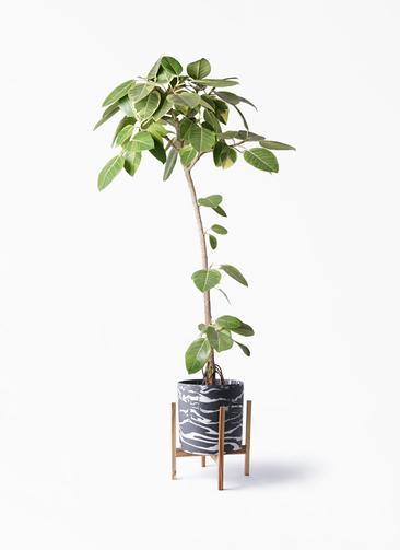 観葉植物 フィカス アルテシーマ 8号 ストレート ホルスト シリンダー マーブル ウッドポットスタンド付き