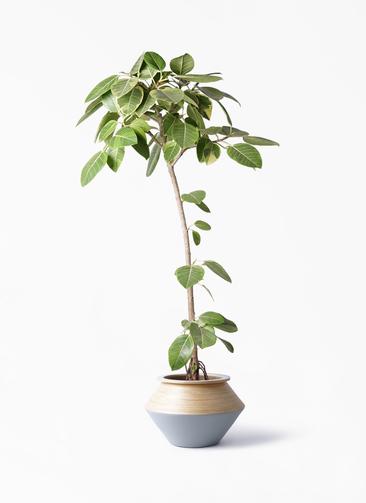 観葉植物 フィカス アルテシーマ 8号 ストレート アルマジャー グレー 付き