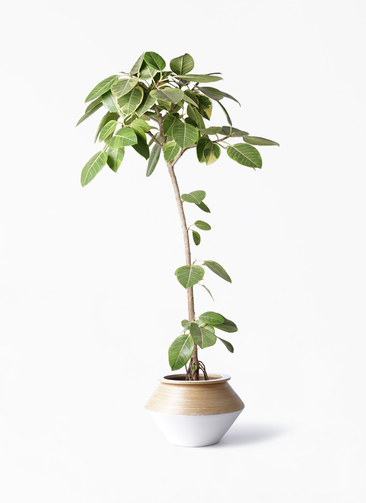 観葉植物 フィカス アルテシーマ 8号 ストレート アルマジャー 白 付き