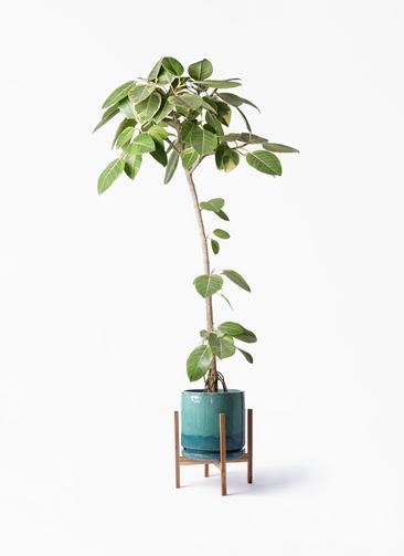 観葉植物 フィカス アルテシーマ 8号 ストレート ビトロ エンデガ ターコイズ ウッドポットスタンド付き