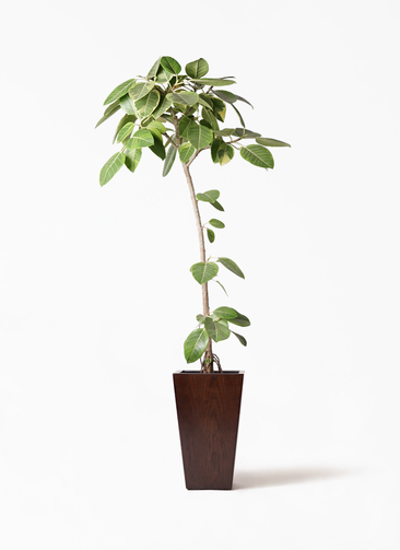 観葉植物 フィカス アルテシーマ 8号 ストレート MOKU スクエア 付き