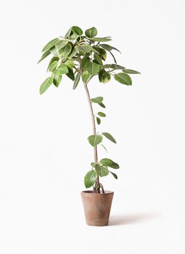 観葉植物 フィカス アルテシーマ 8号 ストレート ルーガ アンティコ ソリッド 付き