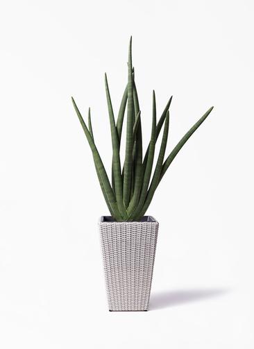 観葉植物 サンスベリア スタッキー 8号 ウィッカーポット スクエアロング OT 白 付き