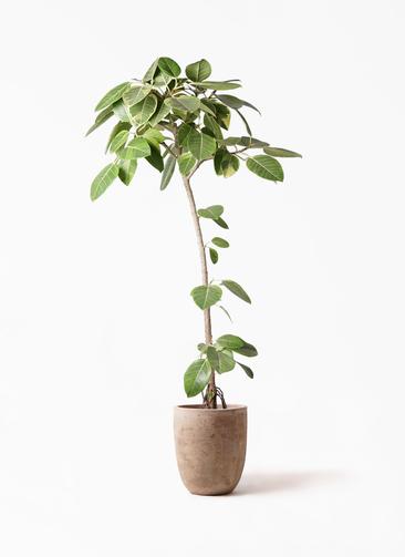 観葉植物 フィカス アルテシーマ 8号 ストレート ルーガ アンティコ アルトエッグ 付き