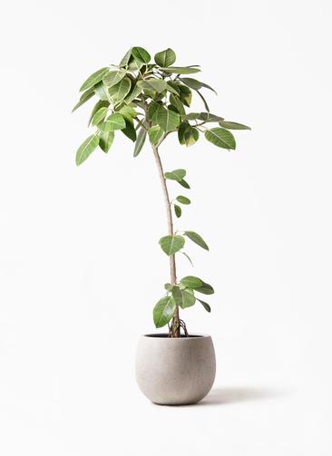 観葉植物 フィカス アルテシーマ 8号 ストレート テラニアス ローバルーン アンティークホワイト 付き