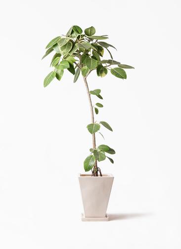 観葉植物 フィカス アルテシーマ 8号 ストレート スクエアハット 白 付き