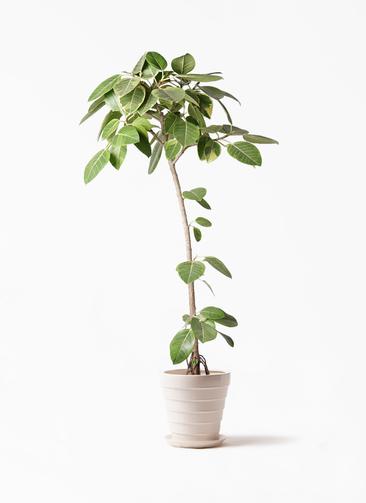 観葉植物 フィカス アルテシーマ 8号 ストレート サバトリア 白 付き