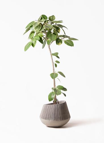 観葉植物 フィカス アルテシーマ 8号 ストレート エディラウンド グレイ 付き