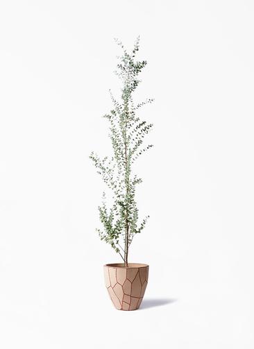 観葉植物 ユーカリ 8号 グニー ウィスク 付き