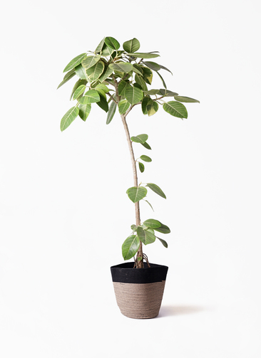 観葉植物 フィカス アルテシーマ 8号 ストレート リブバスケットNatural and Black 付き