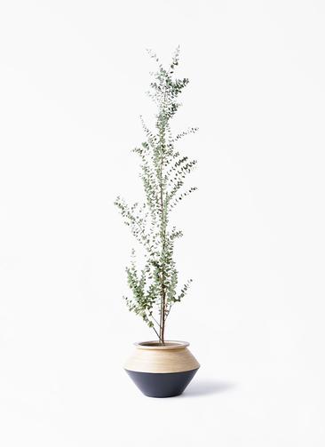 観葉植物 ユーカリ 8号 グニー アルマジャー 黒 付き