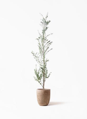 観葉植物 ユーカリ 8号 グニー ルーガ アンティコ アルトエッグ 付き