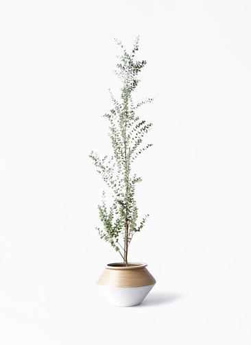 観葉植物 ユーカリ 8号 グニー アルマジャー 白 付き