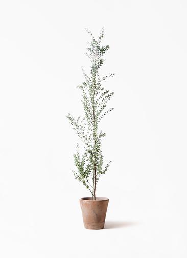 観葉植物 ユーカリ 8号 グニー ルーガ アンティコ ソリッド 付き
