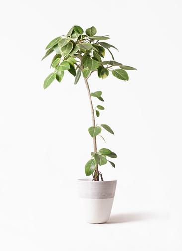 観葉植物 フィカス アルテシーマ 8号 ストレート ジュピター 白 付き