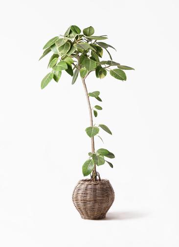 観葉植物 フィカス アルテシーマ 8号 ストレート グレイラタン 付き