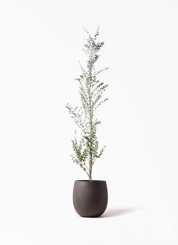 観葉植物 ユーカリ 8号 グニー テラニアス バルーン アンティークブラウン 付き