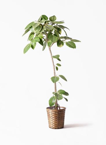観葉植物 フィカス アルテシーマ 8号 ストレート 竹バスケット 付き