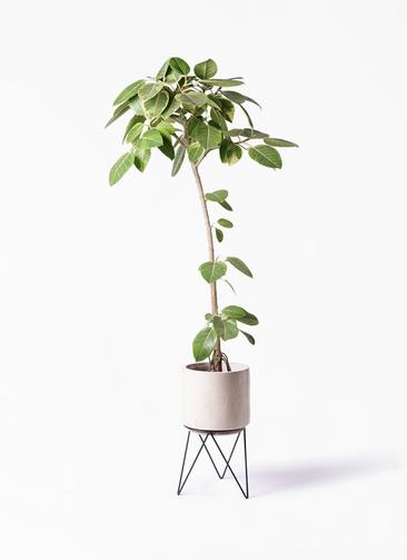 観葉植物 フィカス アルテシーマ 8号 ストレート ビトロ エンデカ 鉢カバースタンド付 クリーム 付き