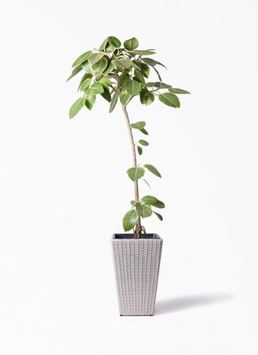 観葉植物 フィカス アルテシーマ 8号 ストレート ウィッカーポット スクエアロング OT 白 付き