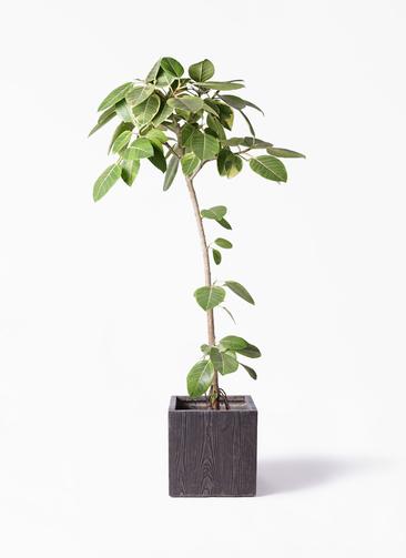観葉植物 フィカス アルテシーマ 8号 ストレート ベータ キューブプランター ウッド 茶 付き