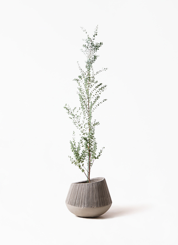 観葉植物 ユーカリ 8号 グニー エディラウンド グレイ 付き