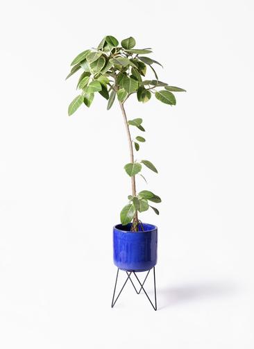 観葉植物 フィカス アルテシーマ 8号 ストレート ビトロ エンデカ 鉢カバースタンド付 ブルー 付き