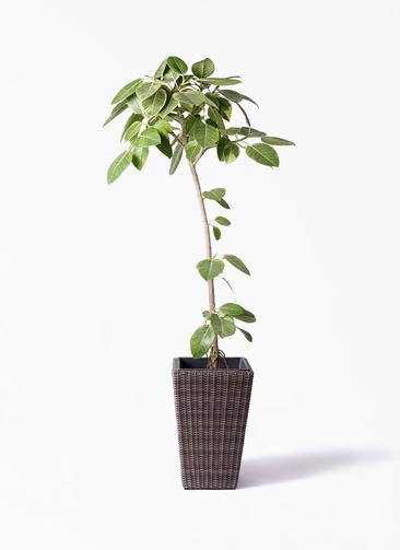 観葉植物 フィカス アルテシーマ 8号 ストレート ウィッカーポット スクエアロング OT 茶 付き