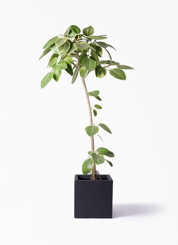 観葉植物 フィカス アルテシーマ 8号 ストレート ベータ キューブプランター 黒 付き