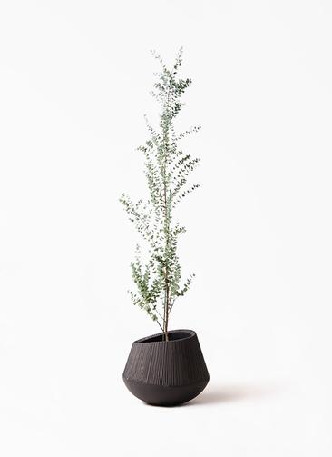 観葉植物 ユーカリ 8号 グニー エディラウンド 黒 付き