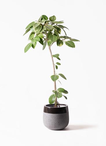 観葉植物 フィカス アルテシーマ 8号 ストレート ファイバーストーンタウルス 黒 付き