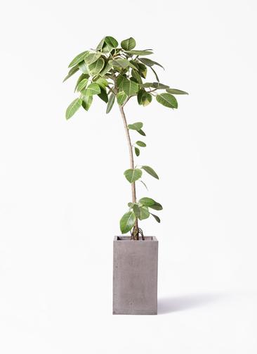 観葉植物 フィカス アルテシーマ 8号 ストレート セドナロング グレイ 付き