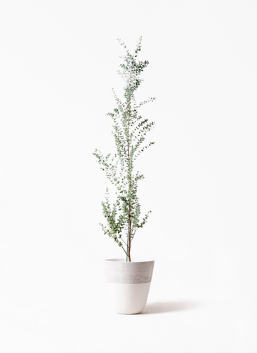 観葉植物 ユーカリ 8号 グニー ジュピター 白 付き