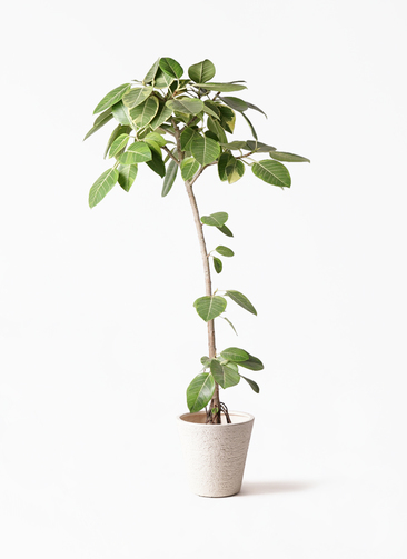 観葉植物 フィカス アルテシーマ 8号 ストレート ビアスソリッド 白 付き