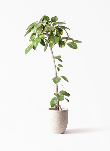 観葉植物 フィカス アルテシーマ 8号 ストレート ビアスアルトエッグ 白 付き